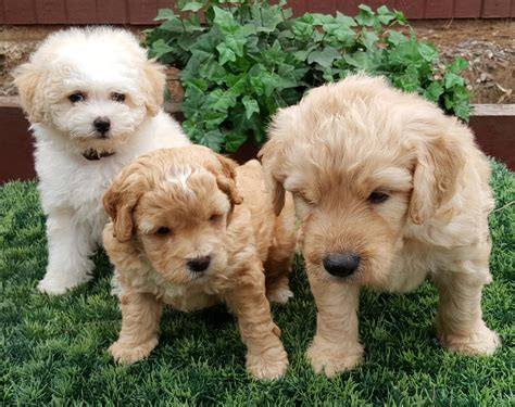 mini goldendoodles san diego golden doodle san diego where are they now