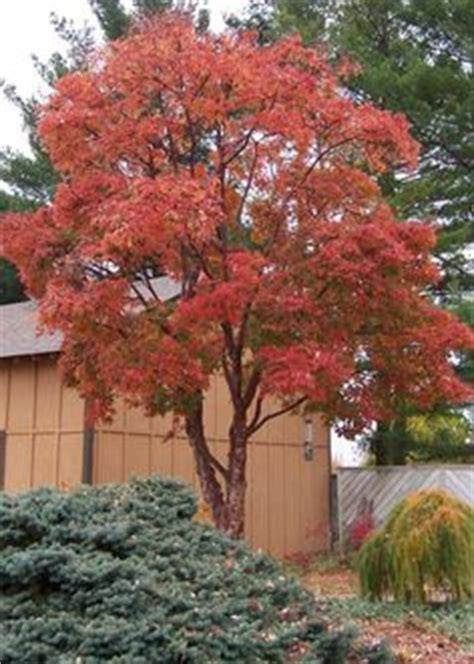 maple tree zone 8 1000 images about q g trees large shrubs on shrubs oklahoma and woodland garden