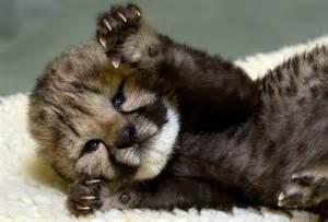 Super cute baby leopard cub