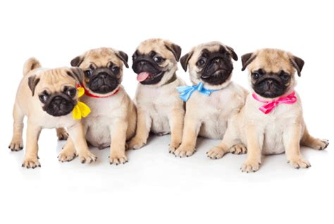 a grumble of pugs a of pugs is called a grumble mental floss