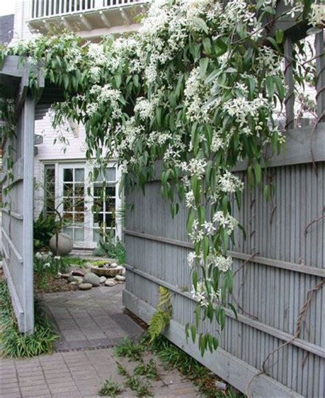 evergreen climbing plants for trellis clematis armandii evergreen clematis so excited this is