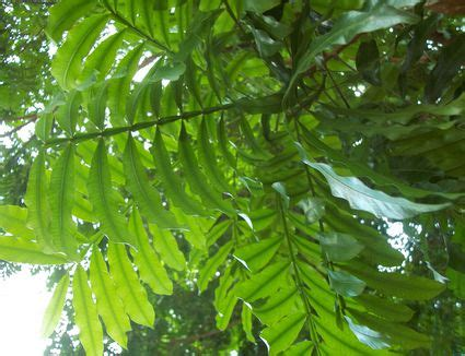 rnb cantiq how to grow australian tree fern