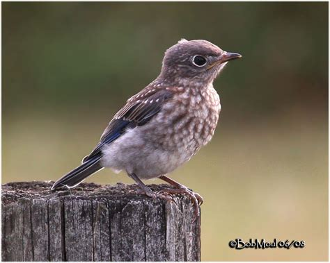 eastern bluebird fledgling photo bob moul photos at