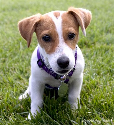 imagenes of jack russell jack russell puppy 11 jpg