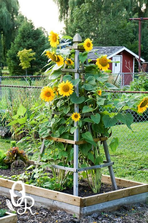 Sunflower Garden Ideas Oliver And Rust Sunflowers Beautiful Way To Keep Them Upright And Contained Yard