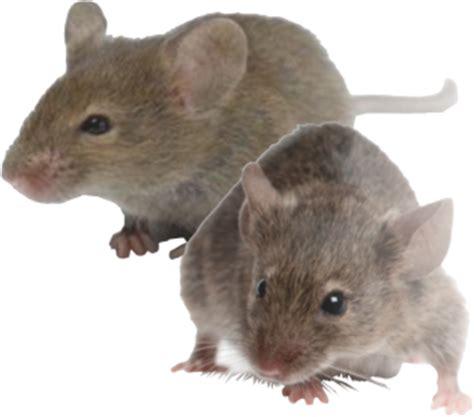 cara membuat perangkap tikus tanah cara mengatasi tikus sawah dengan tbs dan ltbs berbagi ilmu