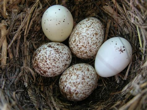 house finch eggs color house finch eggs flickr photo sharing