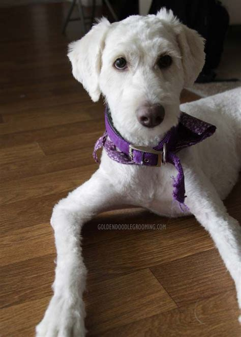 goldendoodle grooming puppy cut the 25 best goldendoodle haircuts ideas on