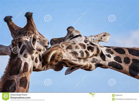 imagenes de jirafas romanticas las jirafas rom 225 nticas nuzzle