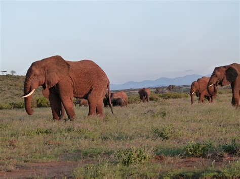 what color are elephants elephants in samburu national reserve empakaai cultural