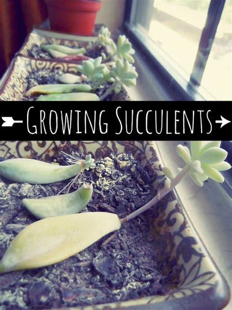 1000 images about succulents propagate on the
