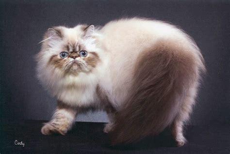 himalayan cats free photos himalayan cat