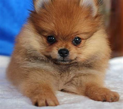pomeranian puppies in florida pomeranian puppies for sale in jacksonville florida fl breeds picture