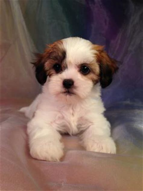 puppy breeders in iowa teddy puppies for sale in iowa breeds picture