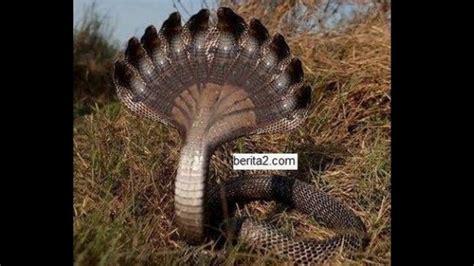 film ular di kalimantan ular berkepala 10 di kalimantan youtube