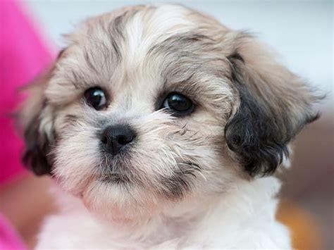 what kind of haircut gor a schichon 109 best teddy bear dogs images on pinterest teddybear