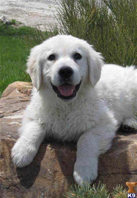 white golden retriever puppies bc best 25 white golden retrievers ideas on golden retrievers white