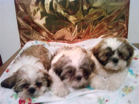 shih tzu puppies for sale in ri shih tzu pups shih tzu breeder pawtucket rhode island