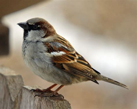 house sparrows pin by brenda restrepo bluestone on birds pinterest