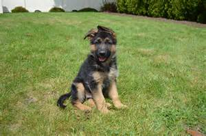 german shepherd puppy rescue german shepherd puppy rescue illinois breeds picture