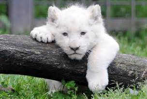 White lion cub picture photos the week uk