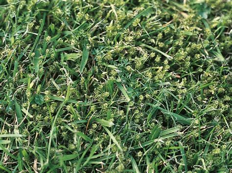 types of weeds in the lawn hgtv