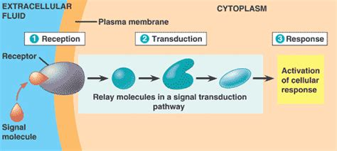 cell communication diagram signal transduction pathways leaders in pharmaceutical