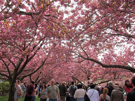 botanical garden cherry blossom 2014 manhattan living 183 flower shows in nyc for 2014