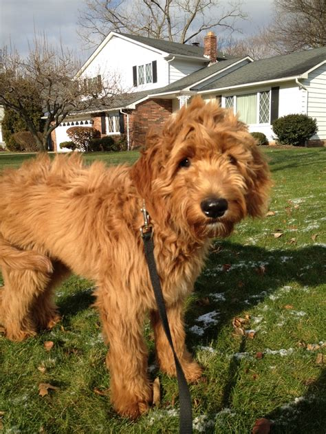goldendoodle puppy breathing fast 17 best images about ralph e doodle cutest goldendoodle