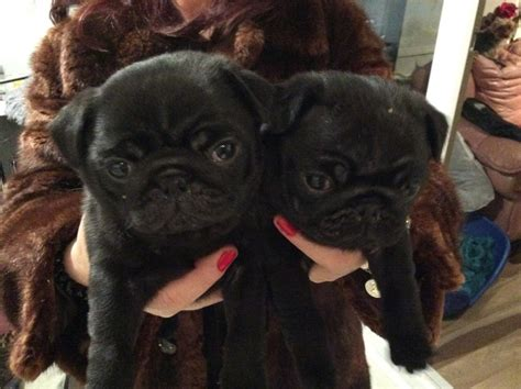 black pug for sale uk 2 black pugs for sale liverpool merseyside pets4homes