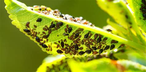 garden insect pests pictures environmentally friendly treatments for summer garden pests