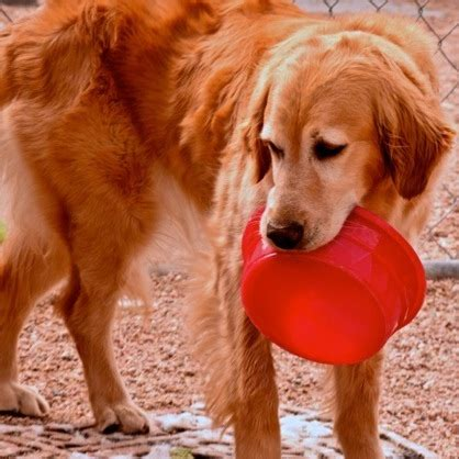golden retriever rescue colorado coloradogives