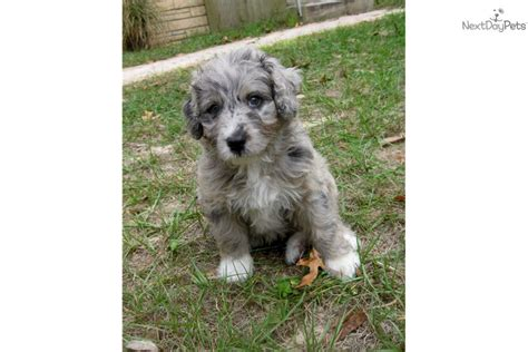 aussiedoodle puppies for adoption aussiedoodle puppies for sale breeds picture
