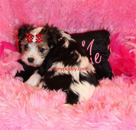 teacup yorkie for sale in ontario teacup yorkie puppies for adoption for sale in toronto ontario to breeds picture