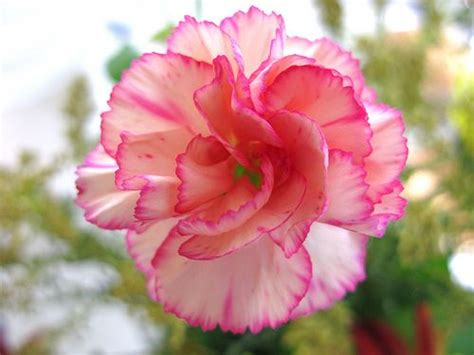 sunday s child lives at annie s house birth flowers and 25 best ideas about carnation flower pictures on