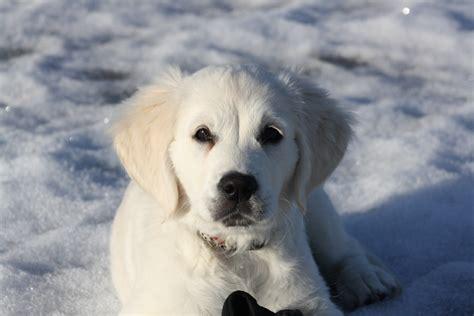 breeds similar to golden retriever wallpaper white snow winter labrador retriever puppy vertebrate like