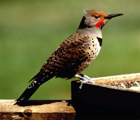 flicker bird picture karambata