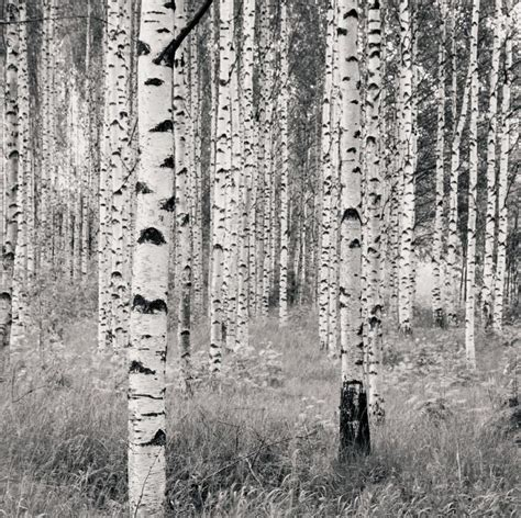 images  birch forest  pinterest trees
