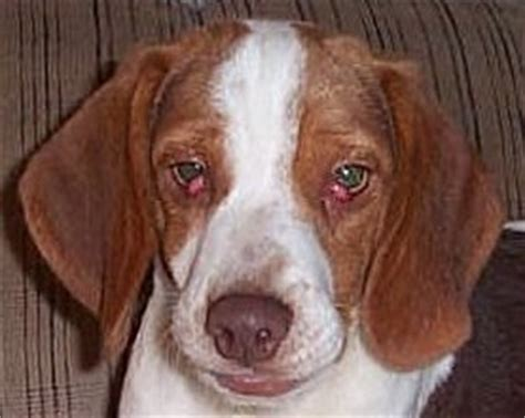 how many eyelids do dogs cherry eye problems in beagles
