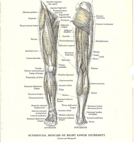 leg muscles diagram leg muscles diagram free large images
