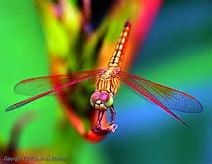 colorful dragonfly colorful dragonfly photo by erwin guillem national