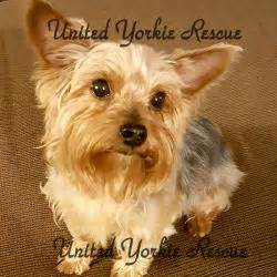 yorkie teeth cleaning cost united yorkie rescue a 501 c 3 non profit terrier rescue organization