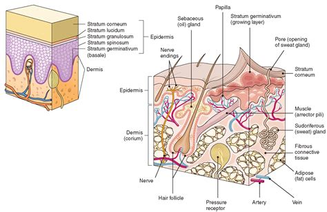 cross section of skin diagram the integumentary system structure and function nursing