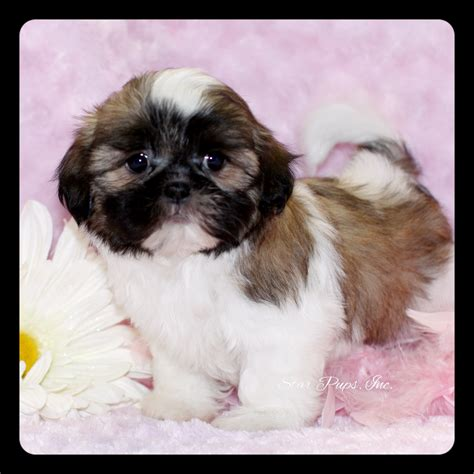 light brown shih tzu puppies all white shih tzu puppy brown pictures to pin on pinsdaddy