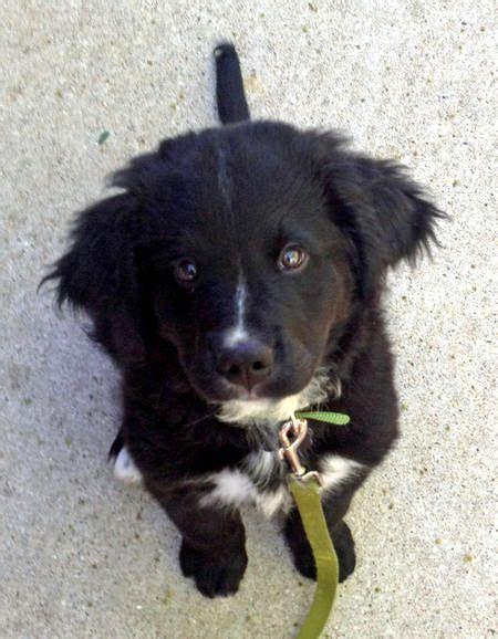 puppy mixes 25 best ideas about mixes on cutest mixes corgi mix breeds and