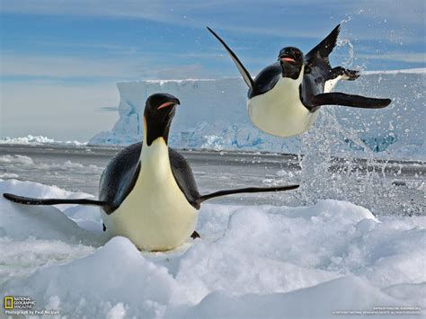 an emperor penguin can attain a swimming accelerate to 19