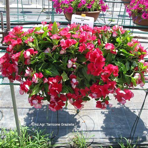 piante da terrazzo perenni piante da balcone perenni ricadenti galleria di immagini