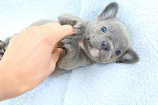 view ad french bulldog puppy  sale  washington