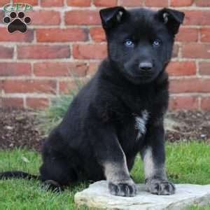 german shepherd puppies lancaster pa german shepherd mix puppies for sale in de md ny nj philly dc and baltimore
