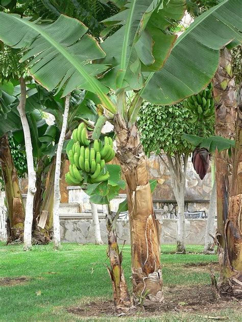 bananas on tree is a banana a fruit or an herb ask a naturalist 174
